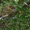 Sleeping Greater Bamboo Lemur