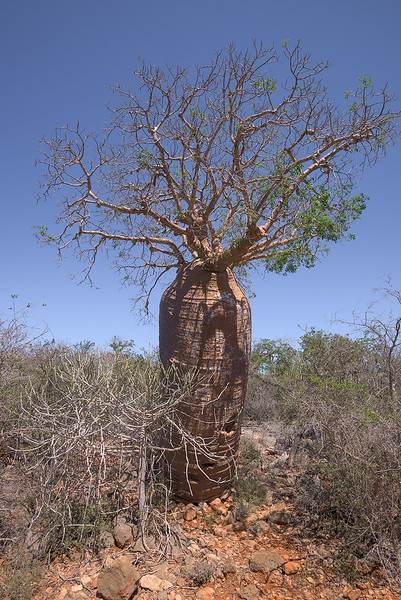 Up-side-down Tree (Baobab)
