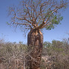 Up-side-down Tree (Baobab)