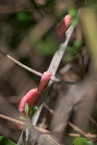 Flatid Leaf Bugs