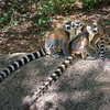 Three Ring-tailed Lemurs