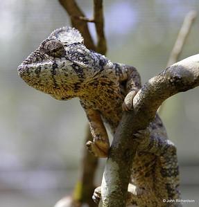 Furcifer oustaleti chameleon
