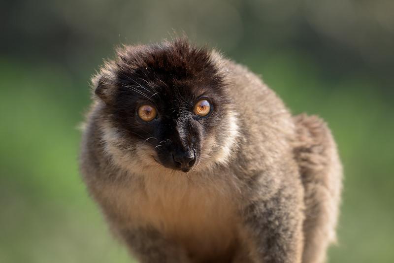 Portrait of Brown Lemur