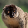 Portrait of Brown Lemur