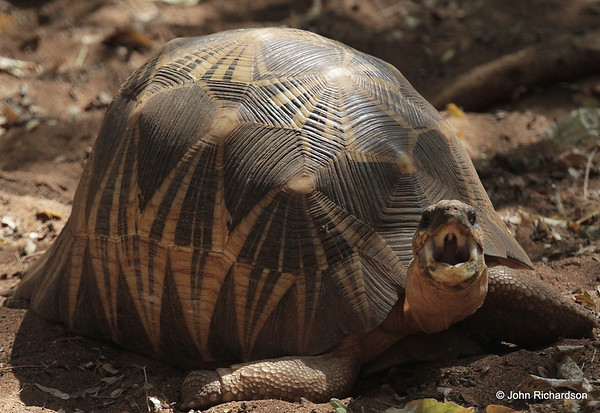 Radiated Tortoise - Berenty
