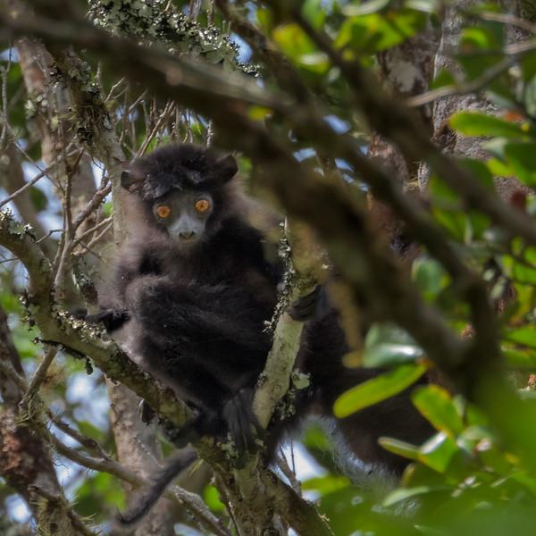 Indri Lemur Baby