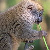 Lesser Bamboo Lemur Eating