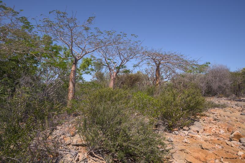 Three Small Baobab Trees