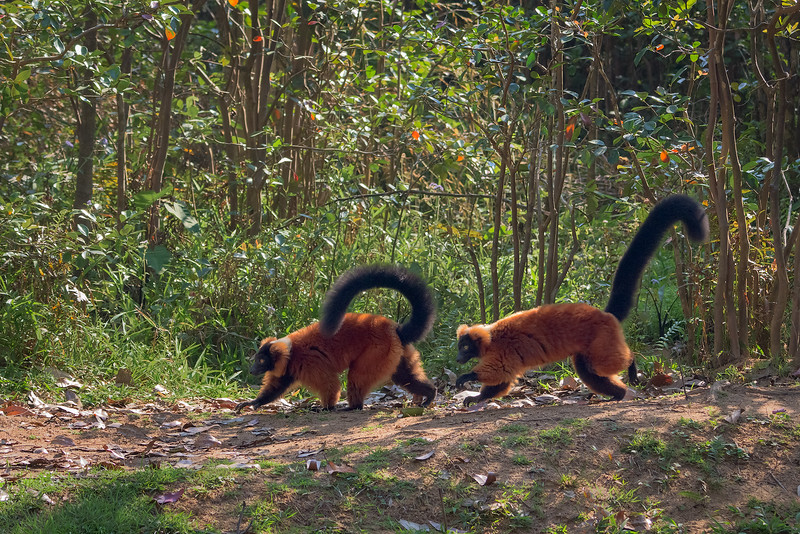 Red Ruffed Lemurs