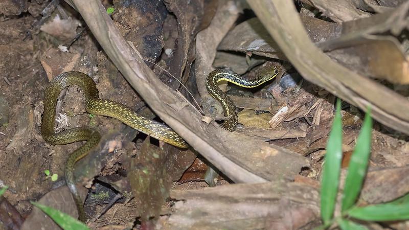 Common Big-eyed Snake