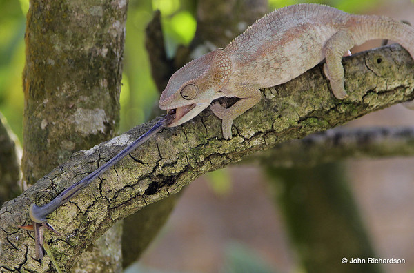 Furcifer lateralis chameleon grabbing insect