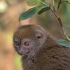 Portrait of Lesser Bamboo Lemur
