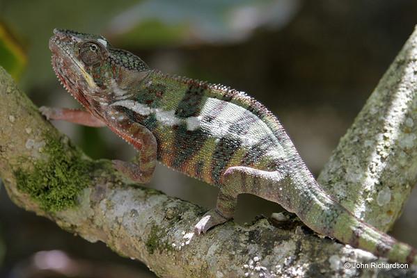Furcifer pardalis chameleon