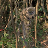 Lesser Bamboo Lemur With Tail