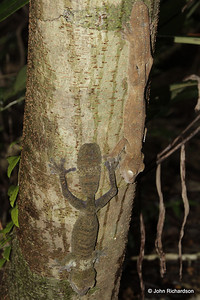 Two leaf tailed geckos on Nosy Mangabe