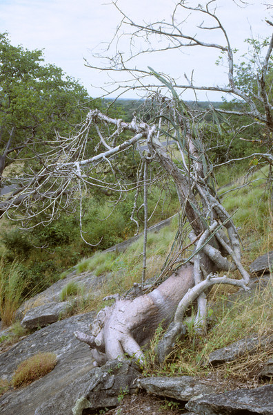 Fockea multiflora in Malawi (inselberg at road Blantyre-Mwanza ca. 2.5 km NE Mpatamanga Gorge. 10 Apr 1991). Free standing sterile specimen forming a self-supporting crown, accompanied by Cissus quadrangularis. The Shire River lowlands are visible at the horizon.<br /> <br /> Fockea multiflora was previously known from southern, southeastern and eastern Africa with a distributional gap between the Zambezi River valley and central Tanzania (Bruyns PV, Klak C. 2006. A systematic study of the old world genus Fockea (Apocynaceae – Asclepiadoideae). Annals of the Missouri Botanical Garden 93: 535–564).<br /> <br /> However, Thiede & al. (2011) reported six localities in Malawi (including the locality shown here)  which bridge this previous distributional gap:  Thiede, J., Hargreaves, B.J., Mwanyambo, M., Oldeland, J. 2011. Filling the gap: Fockea multiflora K.Schum. (Apocynaceae) in Malawi. Haseltonia 16: 79-82.