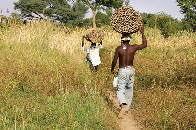 Carrying millet