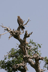 Eagle, Bani river
