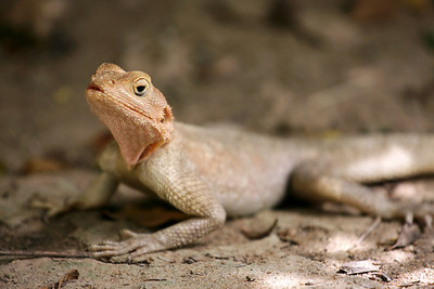 Lizard, Djenne