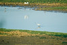 Herons and other birds feeding in the river Niger
