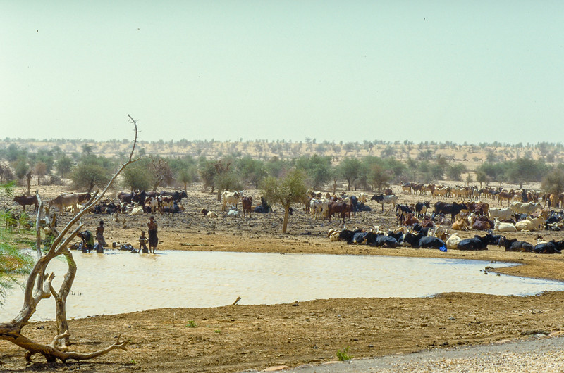Fulbe and their cattle at water hole in the sahel desert, Bilantal, Mali