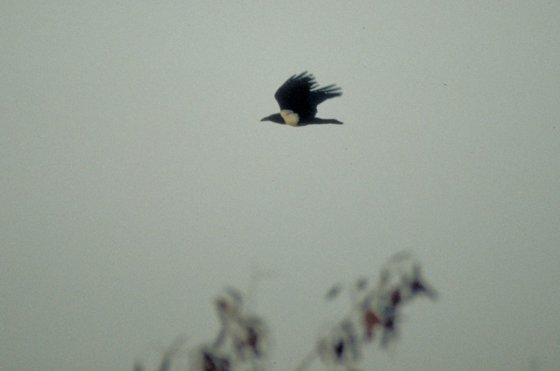Cape crow (black crow / Corvus capensis) in the Kayes region between Mali an Senegal