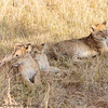 llion cubs -  Masai Mara Preserve - Kenya