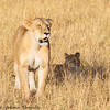 lioness and cubs  -  Masai Mara Preserve - Kenya-3 - Copy