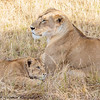 lioness and cubs -  Masai Mara Preserve - Kenya-2
