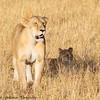lioness and cubs  -  Masai Mara Preserve - Kenya-3