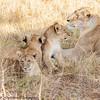 lioness and cubs -  Masai Mara Preserve - Kenya
