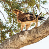 tawney eagle -  Masai Mara Preserve - Kenya