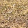black bellied bustard  -  Masai Mara Preserve - Kenya-5 - Copy
