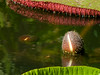 Giant water lily, SSR Botanical Garden, Pamplemousses, Mauritius