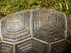 Tortoise, SSR Botanical Garden, Pamplemousses, Mauritius