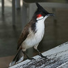 Red-whiskered bulbul, Pereybere, Mauritius