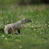 Egyptian mongoose