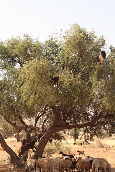 The tree goats of Morocco. June 2013