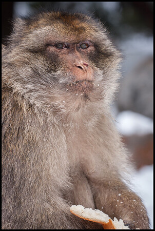 Barbary macaque, Middle Atlas mountains