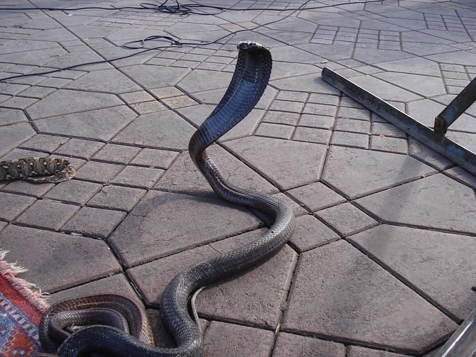 Charmed Cobra - Djemaa el-Fna Marrakech