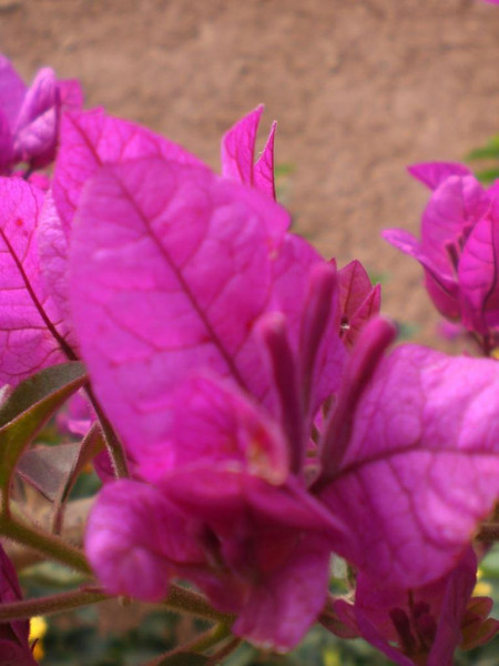 A purple flower in Marrakesh.