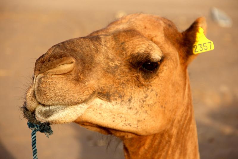 Moroccan camel