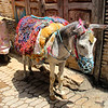 Colourful mule,
