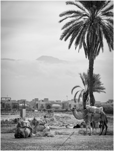 camels and mountains