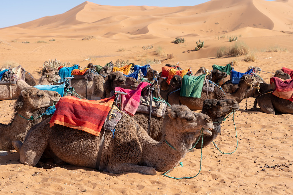 Camels in the Sahara Desert in Morocco