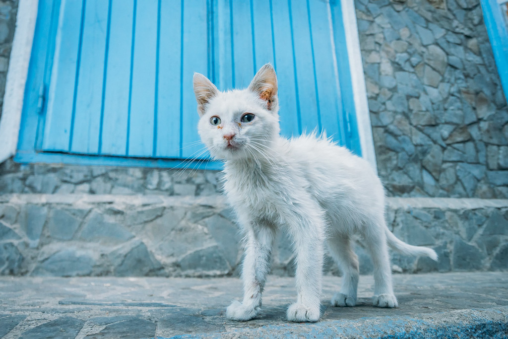 Cats in Morocco  Mysterious Chefchaouen: The Blue Pearl Of Morocco chefchaouen kitten white XL