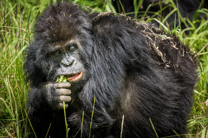 068_2014_Mountain_Gorillas-43502