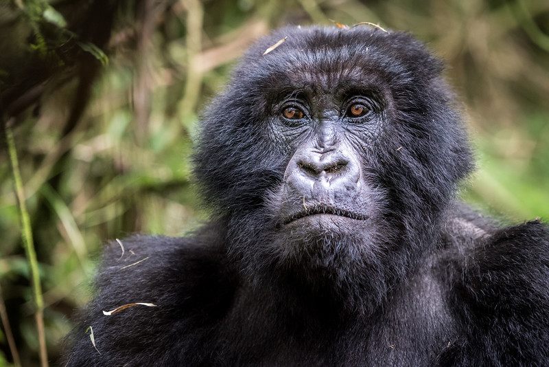 086_2014_Mountain_Gorillas-43739