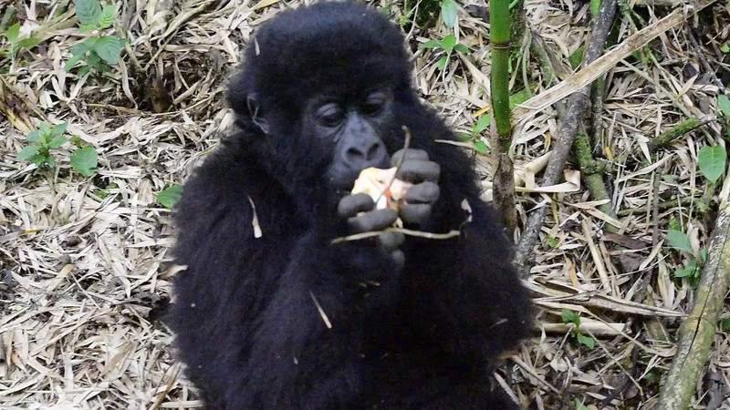 080_2014_Mountain_Gorillas-43707