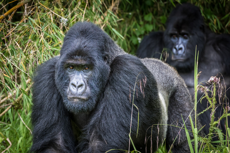 050_2014_Mountain_Gorillas-43373